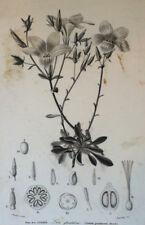 LIN GLANDULEUX GRAVURE Annedouche Botanique XIXème