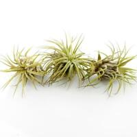 "Assorted Live Tillandsia Air Plants - 2-3"" Each - w/Driftwood"
