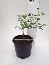 Des plantes Poncirus Trifoliata - Flying Dragon - Orange Tréflée