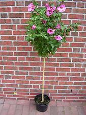 Hibiscus syriacus Hamabo - Stamm, Garteneibisch, Höhe: 120-130 cm + Dünger !