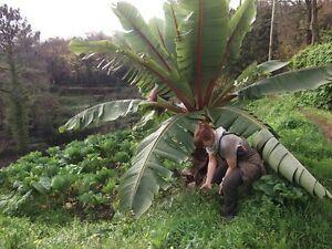 Musa Nag. essbare Banane winterhart Geschenke für Kinder Männer Frauen Senioren