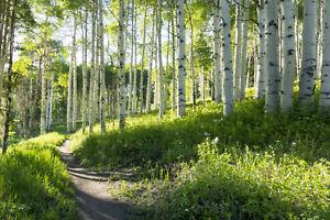 VLIES Fototapete-BIRKENWALD-(43V)-Natur Pflanzen Bäume Park Garten Wandtapete