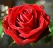 50 Semillas de Rosa Roja (Red Rose Seeds)