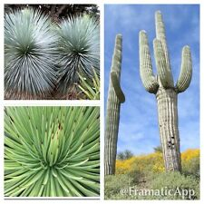 Aride succulent plant SEED COLLECTION-Agave STRIATA-Blu Yucca-GIGANTE CACTUS