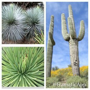 Arid Succulent Plant Seed Collection - Agave Striata - Blue Yucca - Giant Cactus