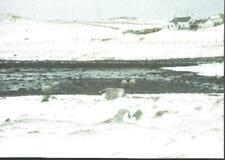 Walls, Shetland - The Waddle, sheep - postcard c.2000s