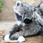 BR11 Large Taxidermy Oddities Curiosities Scratching Raccoon collectible disply