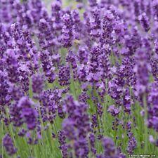 LAVENDER MUNSTEAD 6 PLUG PLANTS