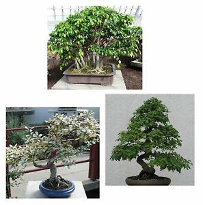 Baum Bonsai SET: Ficus - Ölweide - Weissdorn   BAUM für Garten  und Zimmer.