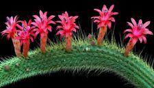 10 Espostoa Hybride X Cleistocactus CACTUS INCROCIO semi seeds korn samen