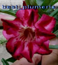 "Adenium Obesum Desert Rose ""Ultra Double Wave"" 30 seeds!"