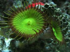 Nuclear Green Palythoa Soft coral  Frag