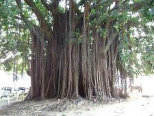 200+ Ficus benghalensis seeds Indian banyan Tree Bonsai Seed * Long Living Tree