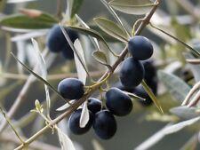 pianta di olivo ulivo olive ulivi arbequina leccino frantoio carolea ascolana