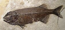 22 cm Phareodus encaustus fish fossil - Green River formation Wyoming