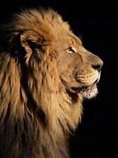 BIG MALE AFRICAN LION PORTRAIT PHOTO ART PRINT POSTER PICTURE BMP008B