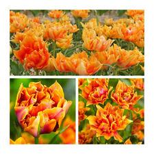 Willem Van Orange Double Early Tulip x 10 Bulbs.Pretty Spring Flower