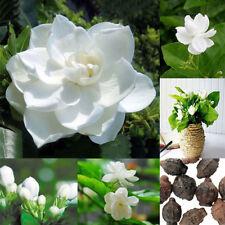 50pcs Jasmine Gardenia Seeds Light Fragrant White Color Bloom Five Petal Decor