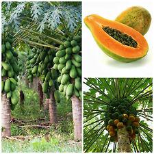 50 graines de Carica papaya, la papaye, F