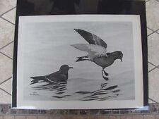 Original  Rex Brasher #108-1  Hand Painted   Print Socoro Petrel  #108-1REX2 DSS