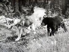 NIKKI, WILD DOG OF THE NORTH Movie Film 8 x 10 PHOTO WALT DISNEY 1961 AK1439