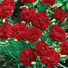 Carnation (Dianthus Caryophyllus Grenadin)- Scarlet- 50 seeds