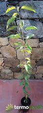 Pianta di ciliegie Albero ciliegio Durone di Vignola III