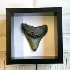 More details for megalodon shark dinosaur tooth fossil in shadow box display frame case