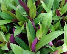Tradescantia spathacea 10cm plant