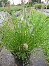 Pennisetum alopecuroides Cassian, Garten-Federborstengras - Lampenputzerg.