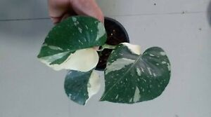 Monstera DeliciosaThai Constellation! Fully Rooted