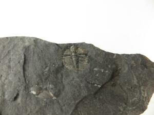 S.V.F - Cnemidopyge Trilobite - U.K fossil from Shropshire