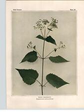 1934 Wildflower Book Plate White Snakeroot Climbing Hempweed Goldenrod