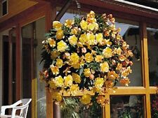 15 Seeds Begonia Illumination Apricot Pelleted FLOWER SEEDS illumination