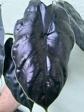 Good Sized plant Rooted Established Alocasia azlanii Species Jewel Alocasia