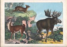 1886 Belle lithographie originale élan lama cerf musqué animaux gravure