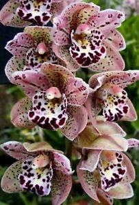 Vogel's Magic 'Waikanae' *Flowering* Cymbidium