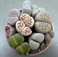 Lithops / Living Stones ~ 100+ Seeds Mixed Varieties ~ High Quality Seed!