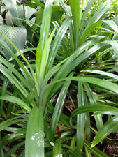 "Pandanus amaryllifolius Tropical Clumping Pandan ""Grow your own edible plant"""