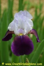 Helen Collingwood (Smith 1949) Historic Tall Bearded (Tb) Iris - 1 Rhizome