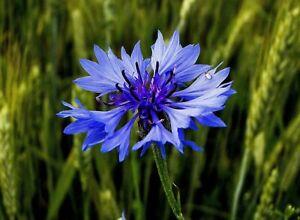 100 Graines de Bleuet - fleurs plante mellifère jardin méthode BIO