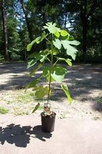 Brown Turkey Fig Tree Live Plant Fruit Trees Healthy Figs Plants Home Garden NOW