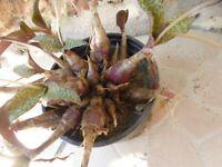 particuliére   plante   grasse en pot=10cm +boutures plantes façiles + verveine