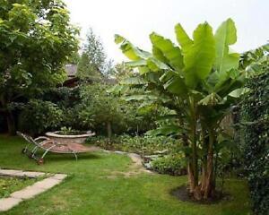 "Winter Hardy Banana Plant Tropical Garden Tree Ohio Grown Basjoo Musa 4"" Pot"