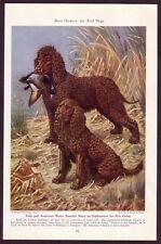 1940s Vintage Irish & American Water Spaniel Bird Hunting Dog Art Print