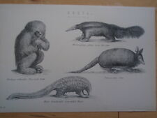 Animals antique vintage print est 1890 inc Sloth & Anteater