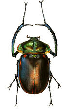 Taxidermy - real papered insects : Euchiridae : Cheirotonus jansoni 55/60mm