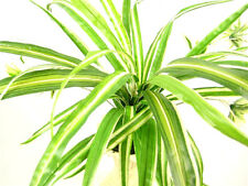 Artificial Plant Chlorophytum Comosum (Spider Plant) with Runners ~ Flat pack