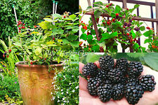 "SEEDS - Self-Pollinating ""Prime Jan"" Blackberry Bush for Patio, Porch or Balcony"