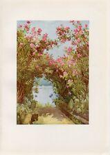Stampa antica ISOLA MADRE Oleandri Lago Maggiore 1905 Old Print